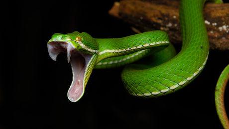 quels-effets-le-venin-des-serpents-a-t-il-sur-notre-corps_74132_w460