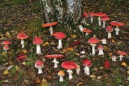 amanita-muscaria-mushrooms-537x358